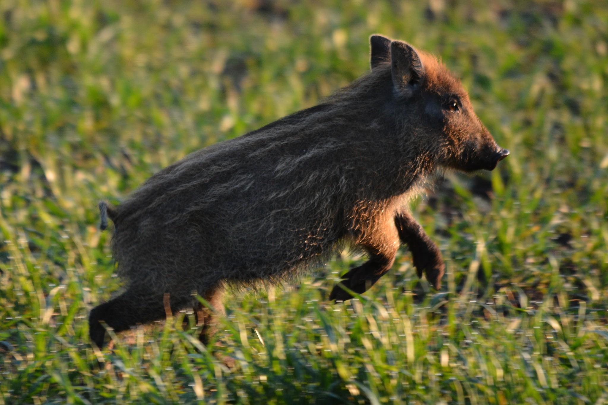 Vad kan du om vildsvin? Foto: Johnny Olsson